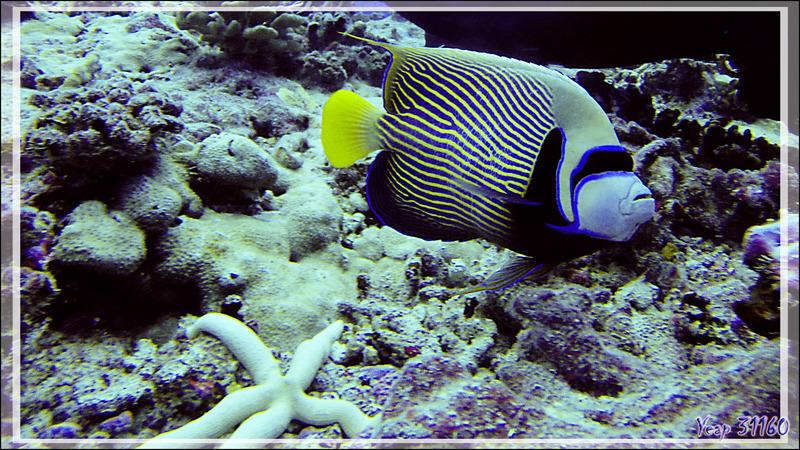 Poisson-ange empereur, Emperor angelfish (Pomacanthus imperator) - Passe Garuae (nord) - Atoll de Fakarava - Tuamotu - Polynésie française