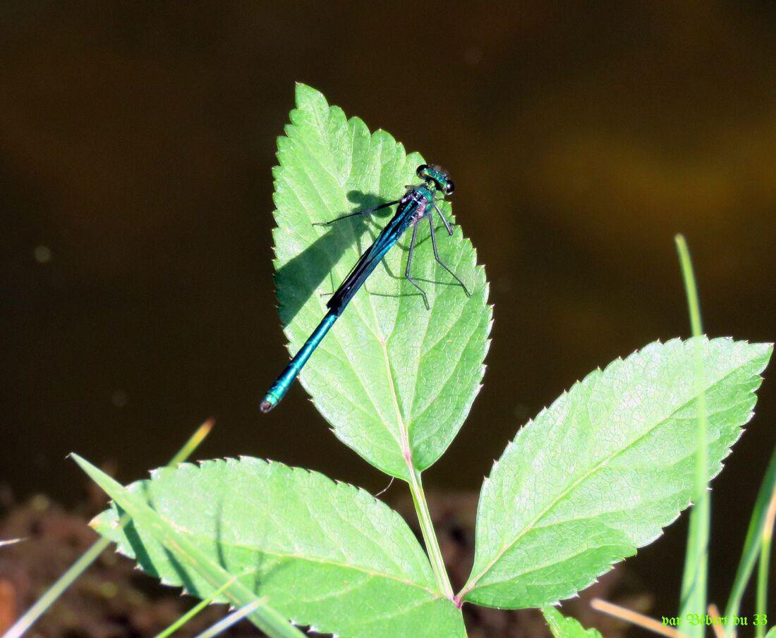 une libellule cet été
