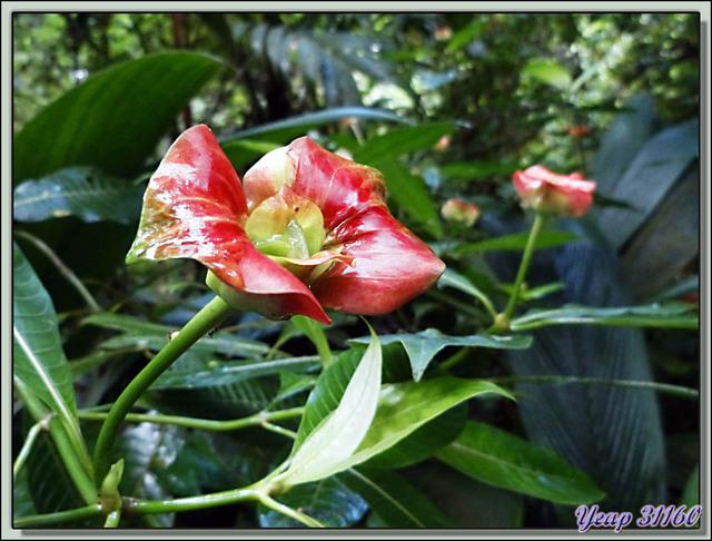 Blog de images-du-pays-des-ours : Images du Pays des Ours (et d'ailleurs ...), Fleur appelée: le baiser de prostituée (Psychotria elata) - Puerto Viejo de Talamanca - Costa Rica
