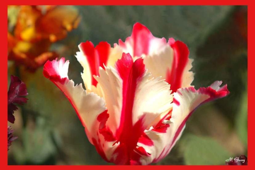 tulipe-1581.jpg
