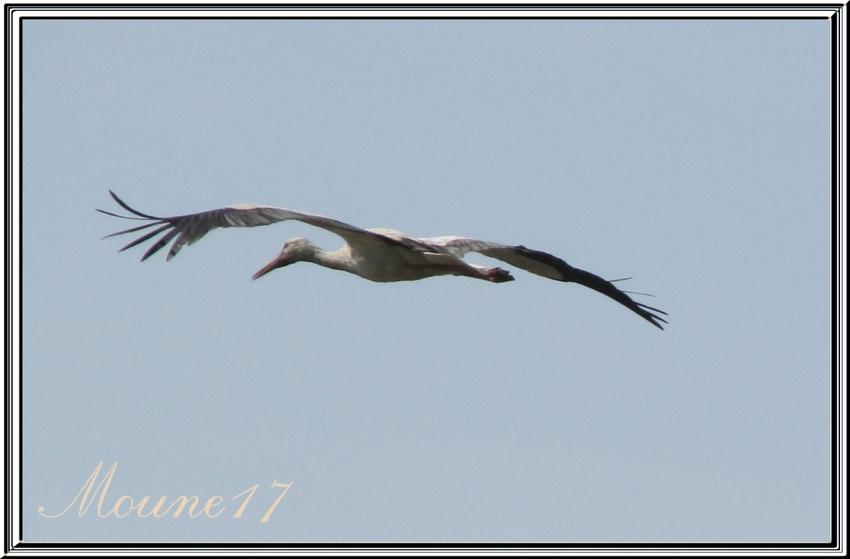 Les cigognes dans les marais en charente maritime
