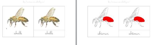 [Nomenclatures] Anatomie de l'abeille