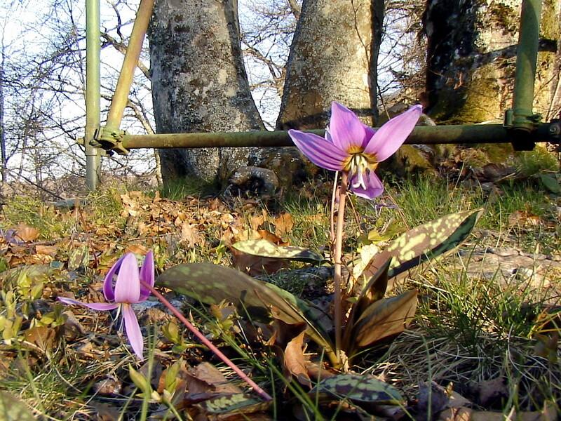 Dents de chien (erythronium dens-canis) - Forêt communale d'Aspet - Massif de Paloumère - 31