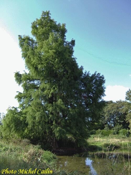 Un arbre rare et insolite à Châtillon sur Seine...