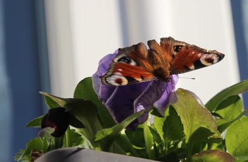 Les papillons sont de retour