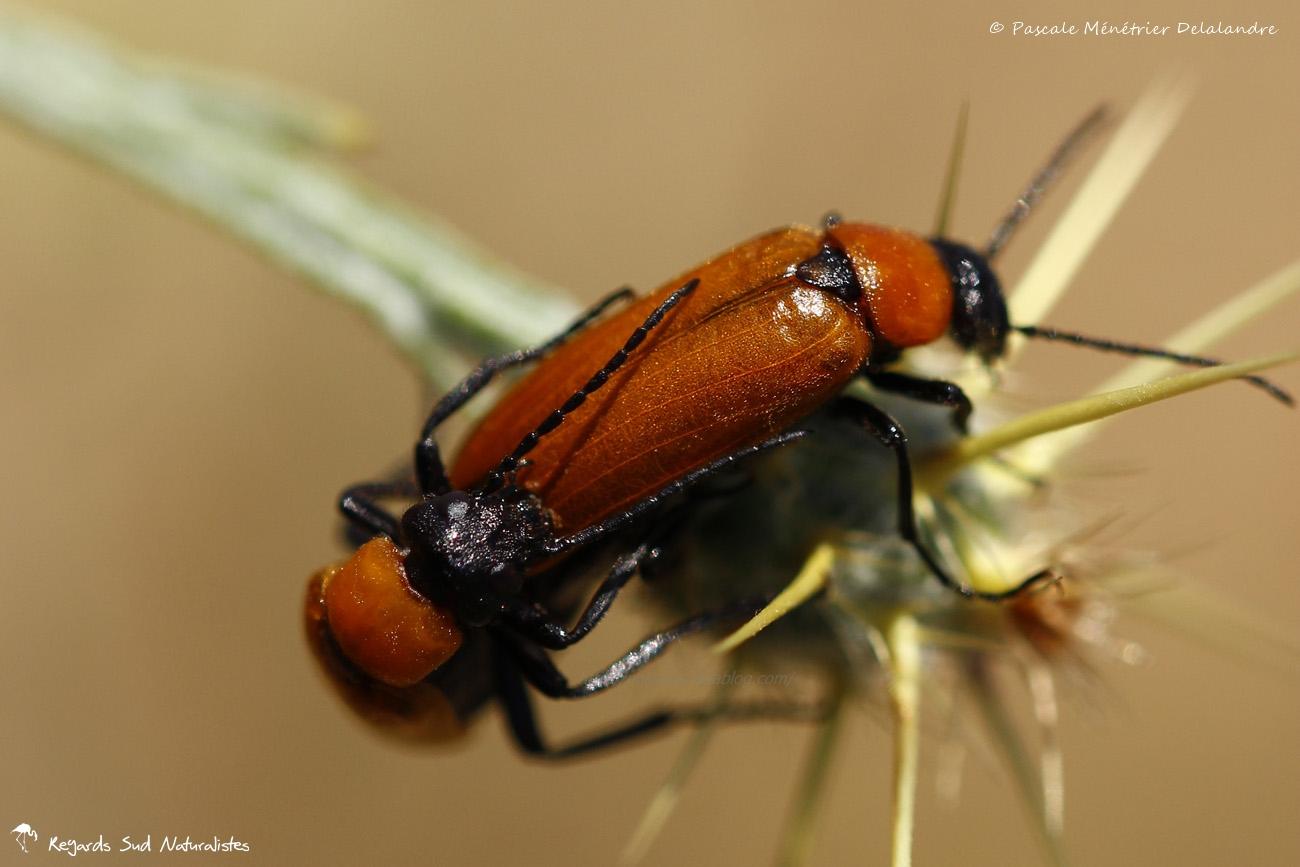 Lupérus portugais - Exosoma lusitanicum
