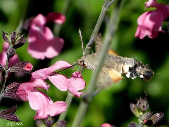 Sphinx-colibri