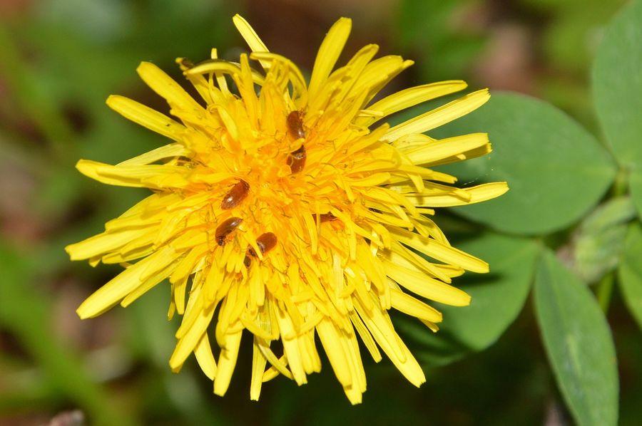 Sur une fleur de pissenlit
