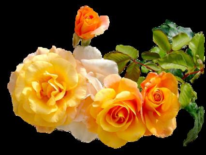 Roses orangés