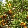 Oranger du Lavandou