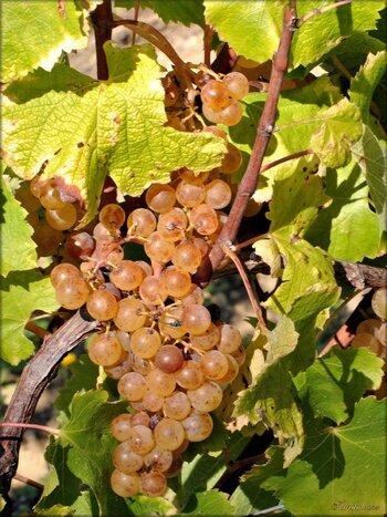 Photos des vignobles de Loupiac (gironde)