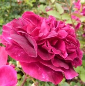 roseraie-david-austin-morienval---munstead-hood--799x800-.jpg