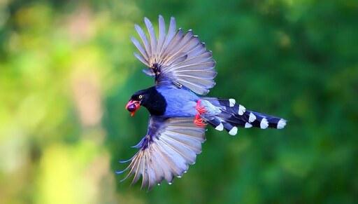 Taiwan Blue Magpie20