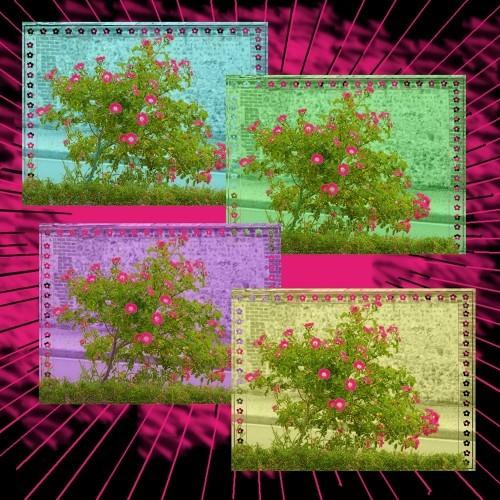 rosier couleur 1