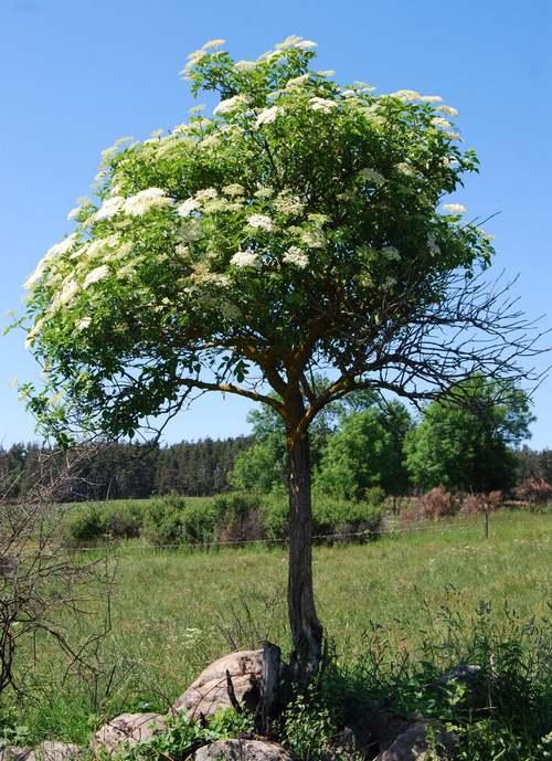 Vertus médicinales des arbres : Sureau noir