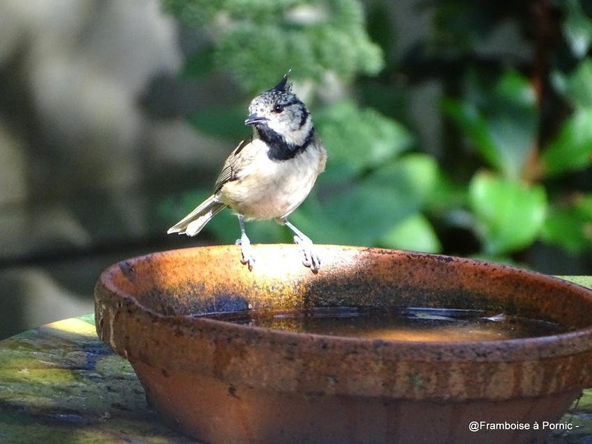 Oiseaux du jardin - Septembre 2018