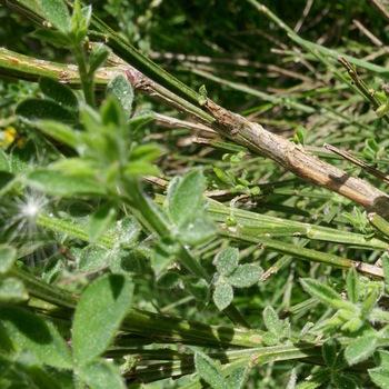 Rameaux et feuilles de genêts à balai