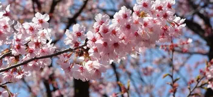 Cerisier rose et Pommier blanc ( Rumba ) 3.09
