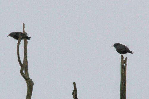 Etourneau Unicolore (Spotless Starling)