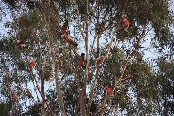 animaux perroquet rose Eden 349 (29)