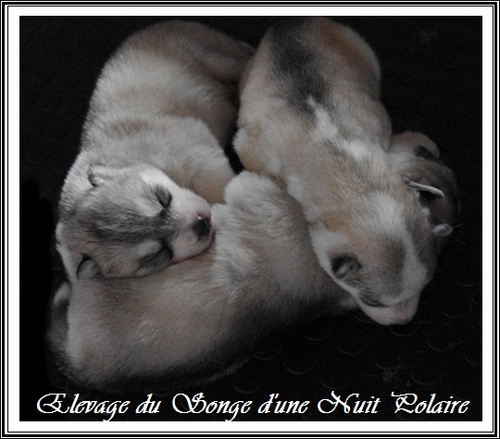 Chiots Huskys (16 jours)