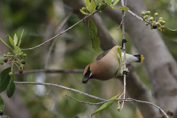 Cedar Waxwing - Long Beach