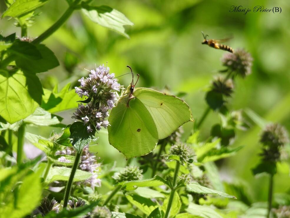 Quelques petits Papillons