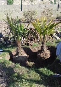 plantation des triplés