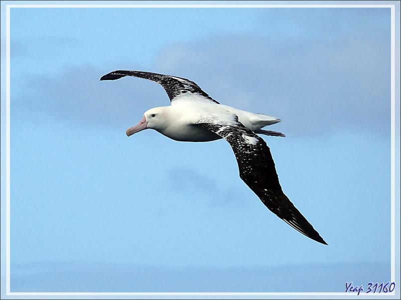 Observation d'oiseaux entre Tristan da Cunha et Le Cap : incertitude entre des Albatros hurleurs ou des Albatros de Tristan?