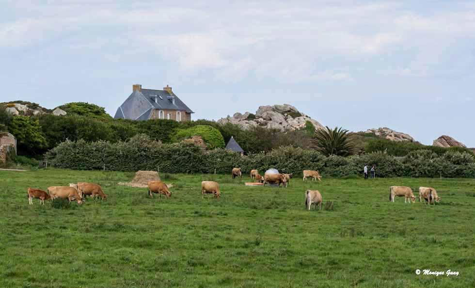 Vaches limousines sur l'île de Bréhat