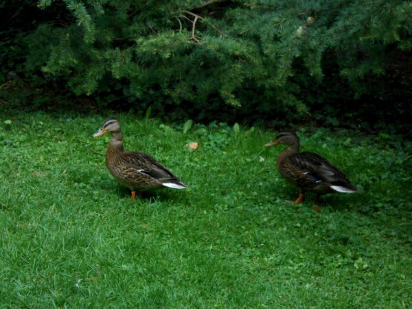 animaux:les canards