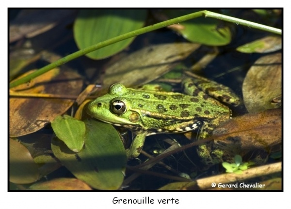 Les grenouilles vertes