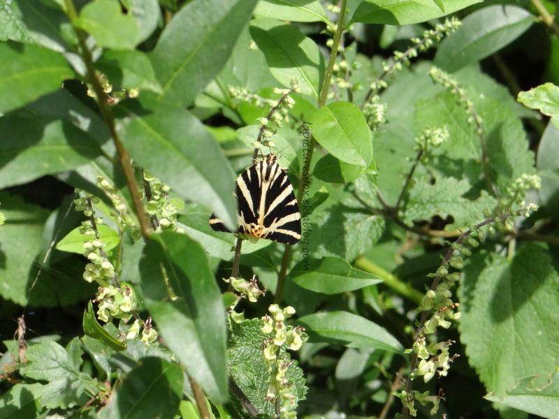 Quel est ce papillon ?