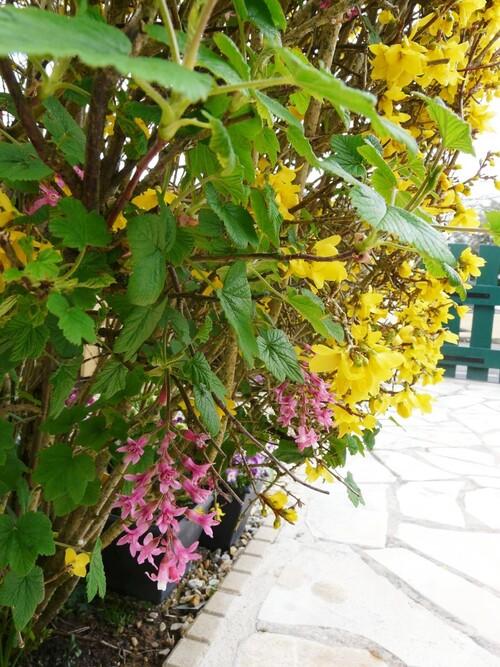 Forsythia et cassis fleur