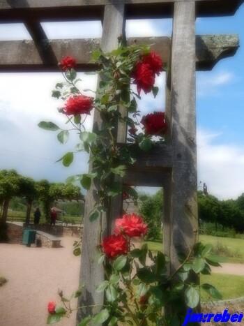 L'après midi du lundi 21 mai ,ma première balade en extérieur au milieu des roses