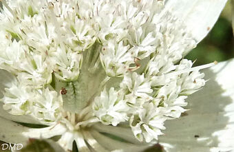 Astrantia major  -  grande astrance
