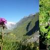 Oeillet des chartreux (Dianthus carthusianorum)