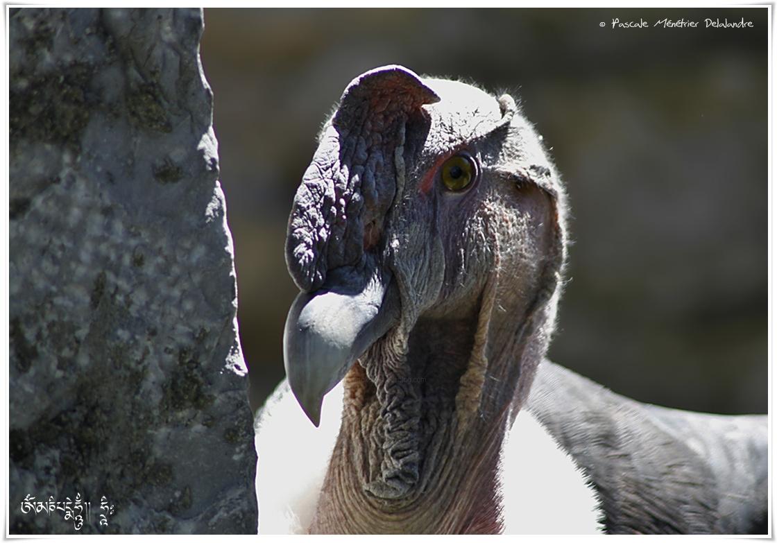 Condor des Andes - Vultur gryphus - Andean Condor