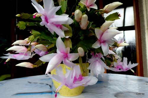 Les fleurs de mon épiphylum