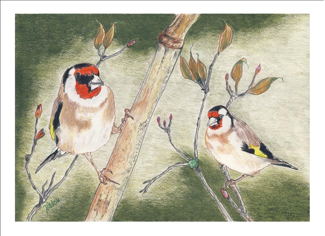 Dessin aux crayons mixtes, le Chardonneret élégant (Carduelis carduelis)