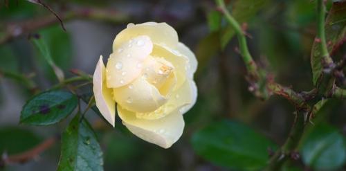 Pleurs de fleur