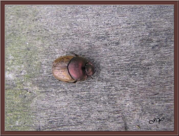 Onthophagus.