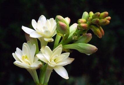 Fleur de nard, Planter pour l'Année liturgique, Forum, 4real.thenetsmith.com