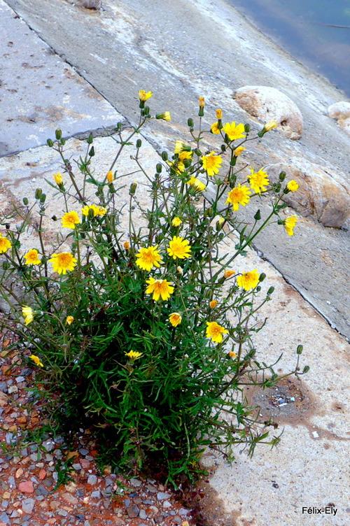 Plante aux fleurs jaunes au bord du quai