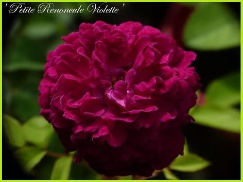 'Petite Renoncule Violette'