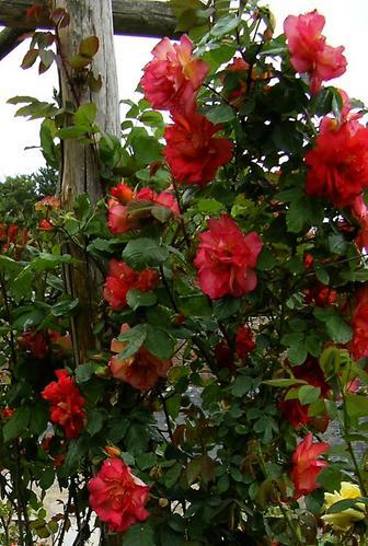 La-Chatonni--re--Daniel-et-les-roses--Juin-2004.jpg