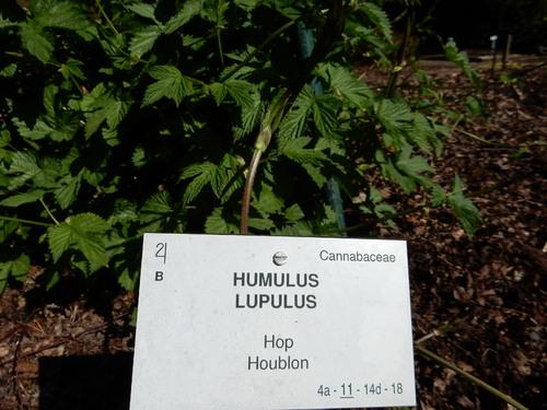 Houblon , plante médicinale
