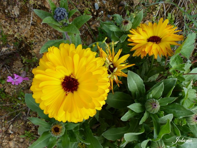fleurs jaunes soucis