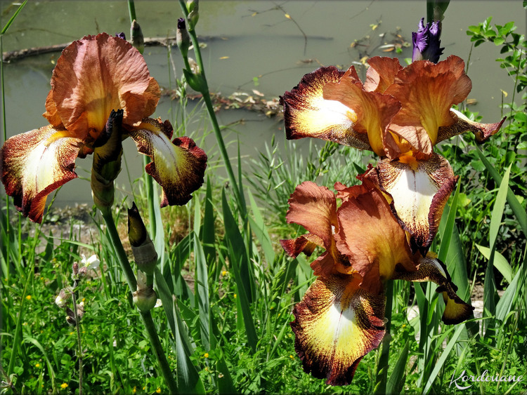Photos de massifs d'iris (fleurs-flore)