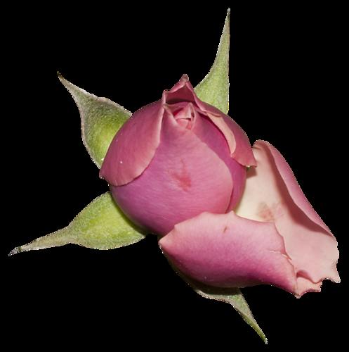Fleurs Têtes (roses) Série 11